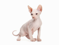 Don sphynx kitten on white Stock Image
