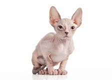 Don sphynx kitten on white background Stock Photography