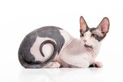 Don sphynx kitten. On white background stock images
