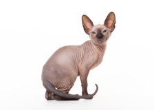 Don sphynx kitten Stock Photography