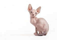 Don sphynx kitten Royalty Free Stock Image