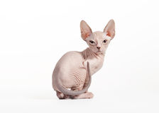 Don sphynx kitten on white Royalty Free Stock Photos