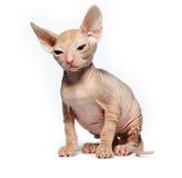 Don sphynx kitten on a white. Background Royalty Free Stock Photos