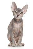 Don sphynx kitten on white background. Portrait of a Don Sphynx kitten on white background royalty free stock photography
