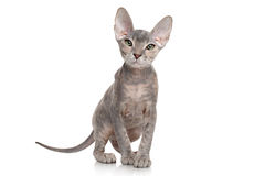 Don sphynx kitten on white background Stock Photos