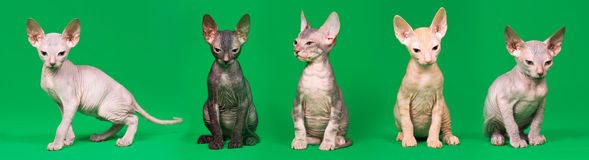 Don sphynx kittens. On a green background Royalty Free Stock Photo