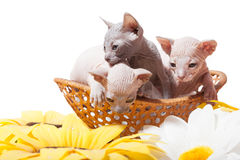 Don sphynx kittens in the basket. Don sphynx kittens in the straw basket on the white background with sunflowers Stock Photography