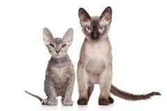 Don Sphynx kittens. Portrait on white background stock images
