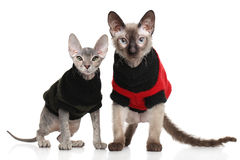 Don Sphynx kittens Stock Photos