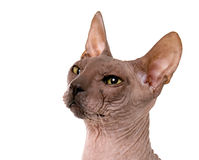 Don Spynx Cat Royalty Free Stock Image