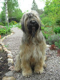 Don`t bother. I see you. French briard in the garden Royalty Free Stock Photo