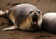 Don't bug me!. Don't bug me elephant seal, Cambria, CA Royalty Free Stock Photos