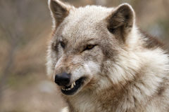 Don't Come Closer. Closeup of a Timber Wolf snarling and bearing her teeth Stock Photos