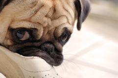 Don't even try!. Illustration of a pug biting a slipper Stock Photos