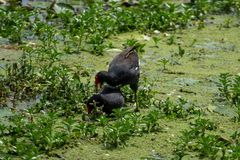 Don`t forget the animals of the mission. The Pheasant-tailed Jacana Eco-Educational Nature Park in Tainan City, the managers are most concerned about how many royalty free stock photo