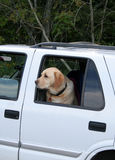 Don't Forget Me. A yellow lab, left in the truck, looks longingly Stock Photo