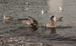 Don't Land So Close To Me. Seagulls squabling near the shore in a traditional british seaside town Stock Photography