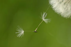 Don't leave Me. Seeds of a plant of dandelion Royalty Free Stock Photography
