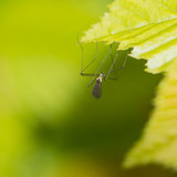 Don't Let Go. A long legged fly hangs from a green leaf royalty free stock image