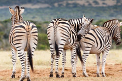 Don't Look, Need To Scratch My Bum - Burchell's Zebra Stock Images