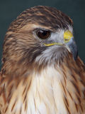 Don't Mess With Me. Piercing gaze of the Red Tail Hawk, colloquially known as the Chickenhawk royalty free stock photo