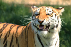 Don't mess with me - Tiger royalty free stock images