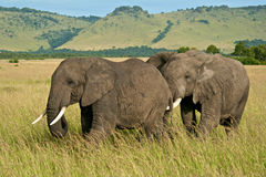 Don't push me. Male African elephant pushes female trying to mate Stock Photos