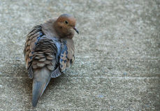 Don't ruffle my feathers- Dove Royalty Free Stock Photography