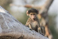 Don't smoke. A baby baboon with what almost looks like a cigar in mouth Royalty Free Stock Photos