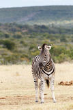 Don't Stare At Me - Burchell's Zebra Royalty Free Stock Images