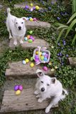Don`t Touch These Eggs. White Jack Russell Terrier and white mix breed dog guarding the spilled easter eggs on wooden stairs in the garden. Colorful eggs Royalty Free Stock Photography