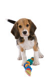 Don't touch my toys!. Cute young beagle pup looking very protective of it's toys Royalty Free Stock Photos