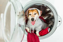 Don`t worry Laundry and dry cleaning pet service. Funny happy relaxed dog in grey hoodie lying in washing machine. Small helper Royalty Free Stock Photo
