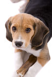 Don't you dare touch my bone. Cute young beagle pup looking very protective of it's bone Royalty Free Stock Photography