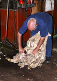 Don Williams shearing a marino in Western Australia Stock Photography
