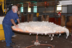 Don Williams som förbereder en ullbeklädnad i västra Australien Arkivfoton