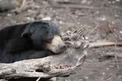 Don& x27; t despierta un oso el dormir Foto de archivo