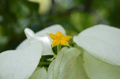 Dona Aurora. Mussaenda philippica Dona Aurora, Family Rubiaceae, Central of Thailand Stock Images
