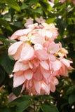 Dona Queen Sirikit flower in nature garden Royalty Free Stock Photos