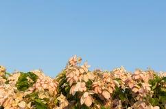 Dona Queen Sirikit Flower Stock Photography