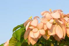 Dona Queen Sirikit Flower Stock Images