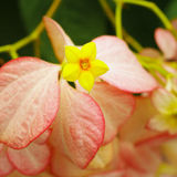 Dona Queen Sirikit, Nice yellow flower Stock Photography