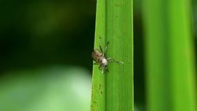 Donaciasemicuprea, bladkevers, kever, donaciinae stock videobeelden