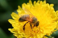 donadora de polen Foto de archivo libre de regalías