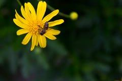 Donadora de polen Imagen de archivo