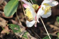 Donadora de polen en la flor Imagenes de archivo