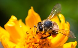 Donadora de polen de la abeja que recoge el polen en la superficie de un girasol fresco amarillo durante la primavera Fotos de archivo