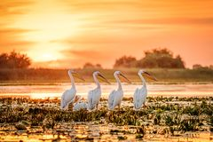 Donau-Delta-Rumänien-Pelikane bei Sonnenuntergang auf See Fortuna lizenzfreie stockfotos