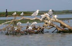 Donaudeltafåglar Fotografering för Bildbyråer