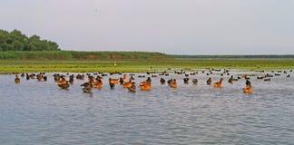 Donaudeltafåglar Royaltyfria Bilder